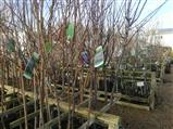 Ornamental Trees Norfolk, British Grown